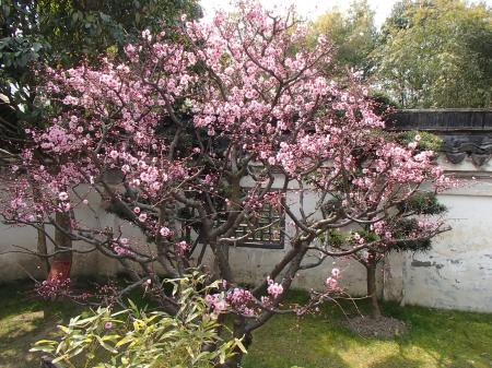 a pink blooming plum tree