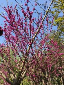 deep pink blooming tree