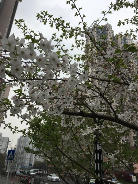 white blooming tree