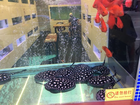 tank with large goldfish and black and white skates